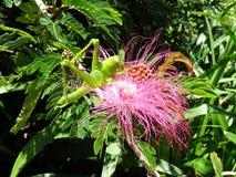 Un saltamontes verde grande que alimenta de una flor rosada mullida del bottlebrush Imagen de archivo
