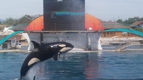 Un salto dell'orca Immagine Stock