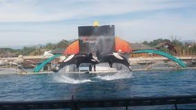 Un salto di due orche Immagini Stock Libere da Diritti