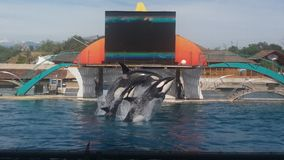 Un salto di tre orche Fotografia Stock Libera da Diritti