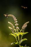 Un salvia hermoso con un abejorro Imagen de archivo libre de regalías