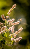 Un salvia hermoso con una abeja Imágenes de archivo libres de regalías