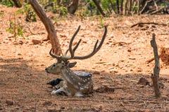 Un sambar dei cervi che riposano sotto un'ombra dell'albero & molto corvo stanno giocando sopra sopra il corpo del sambar Fotografia Stock