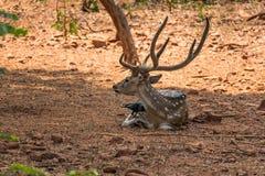 Un sambar dei cervi che riposano sotto un'ombra dell'albero & molto corvo stanno giocando sopra sopra il corpo del sambar Fotografia Stock Libera da Diritti