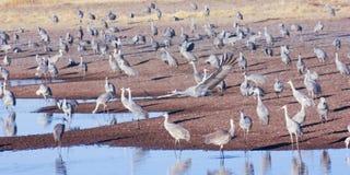 Un Sandhill Crane Flies Above su grupo de Surivival Fotografía de archivo libre de regalías