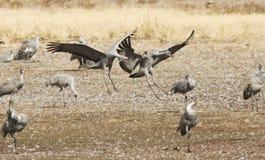 Un Sandhill Crane Pair Lands, rejoignant son hiver Surivival Grou Images stock