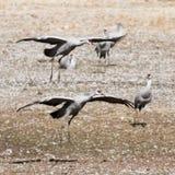 Un Sandhill Crane Pair Lands, rejoignant son hiver Surivival Grou Photos libres de droits
