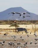 Un Sandhill Crane Trio Glides Above une faune actionnée solaire est venu Images stock