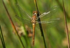 Un sanguineum nouvellement émergé de Ruddy Darter Dragonfly Sympetrum étant perché sur un roseau Photos libres de droits