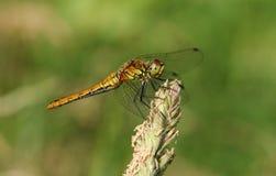 Un sanguineum nouvellement émergé de Ruddy Darter Dragonfly Sympetrum étant perché sur une tête de graine d'herbe Photos libres de droits