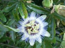 Un sanrocco bleu de l'Italie de fleur photos libres de droits