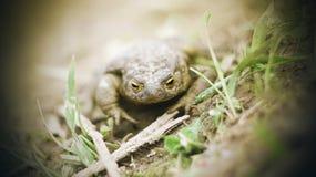 Un sapo manchado en fango se sienta en la tierra entre la hierba fotografía de archivo libre de regalías