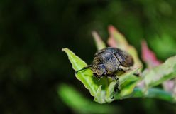 Un scarabée cette terre sur une feuille Photographie stock libre de droits