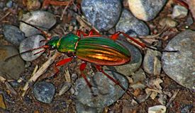 Un scarabée coloré croisant un petit chemin forestier photos stock