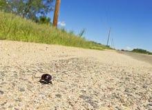 Un scarabée de boursouflure se précipite le long d'un bord de la route Photos libres de droits