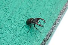 Un scarabée de cerfs communs se repose sur le mur d'un bâtiment image libre de droits