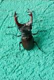 Un scarabée de cerfs communs se repose sur le mur d'un bâtiment photo libre de droits
