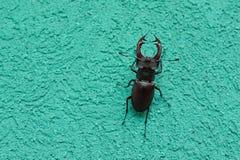 Un scarabée de cerfs communs se repose sur le mur d'un bâtiment image stock