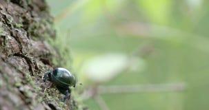 Un scarabée de fumier rampant sur un arbre avec ses jambes minuscules FS700 4K banque de vidéos
