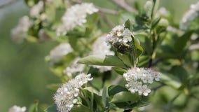 Un scarabée de fumier se repose sur Bush avec les fleurs blanches clips vidéos
