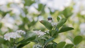 Un scarabée de fumier se repose sur Bush avec les fleurs blanches banque de vidéos
