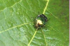 Un scarabée de juin sur une feuille verte photo stock