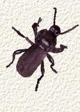 Un scarabée noir dans l'aquarelle, peinte à la main Photo libre de droits