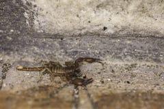 Un scorpion photo libre de droits