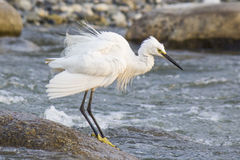 Un seagul blanc prenant le bain en rivière Photos stock