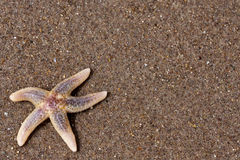 Seastar à la plage Images libres de droits