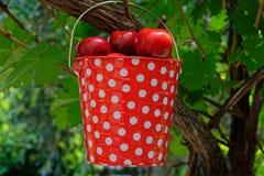 Un seau repéré rouge et blanc accrochant sur une vigne, il est plein des prunes photos stock