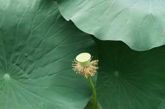 Un seedpod y hojas del loto en el río imagen de archivo