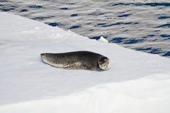 Un sello del leopardo en una masa de hielo flotante de hielo Fotografía de archivo
