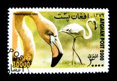 Un sello impreso en Afganistán muestra una imagen del pájaro del ruber de Phoenicopterus imagenes de archivo