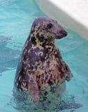 Un sello o un león marino Fotografía de archivo libre de regalías