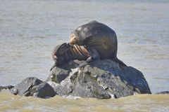 un sello se está sentando en la roca fotos de archivo
