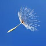 Un seme del dente di leone nel vento Fotografia Stock