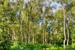 Un sendero iluminado por el sol ancho pasa entre el roble y los árboles de abedul de plata en Sherwood Forest Imagen de archivo libre de regalías