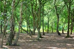 Un sendero iluminado por el sol ancho pasa entre el roble y los árboles de abedul de plata en Sherwood Forest Imágenes de archivo libres de regalías
