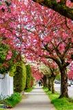 Un sentier piéton dans la ville avec des fleurs de cerisier et un TR rouges de floraison Photographie stock libre de droits