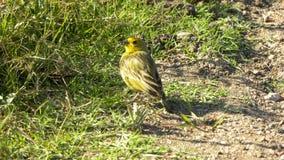 Un Serinus color giallo canarino atlantico canaria nell'erba fotografia stock libera da diritti