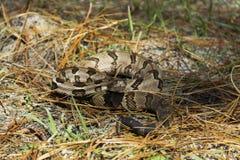Un serpent à sonnettes de bois de construction posé pour frapper Photographie stock libre de droits