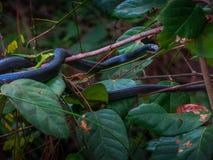 Un serpent de coureur dans les arbres Images libres de droits