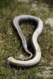Un serpent de hognose jouant complètement pour décourager des prédateurs Image stock