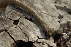 Un serpent sauvage descendant un tronc d'arbre Photographie stock libre de droits