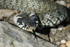 Un serpent sur des roches avec une langue Photo stock