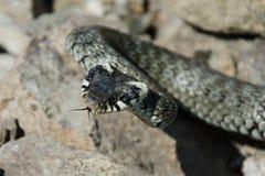 Un serpent sur la roche Photo stock