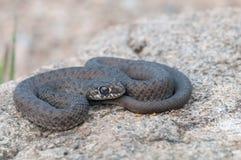 Un serpente Fotografia Stock Libera da Diritti