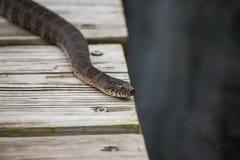 Un serpente di acqua nordico comune riposa su un pilastro da un lago fotografie stock