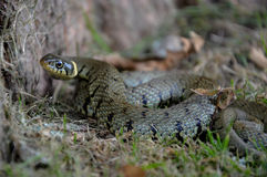 Un serpente di erba Fotografie Stock Libere da Diritti
